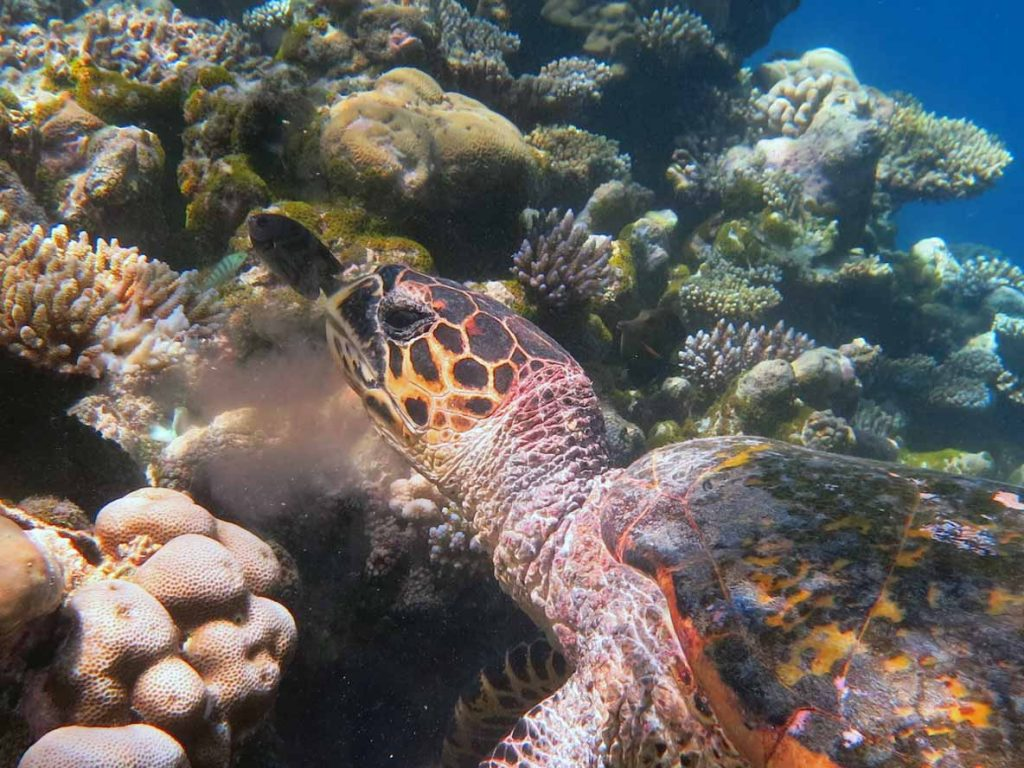 A hawksbill turtle having a bite to eat on a coral reef, Maldives. Samha, hawksbill turtle Maldives. Image.
