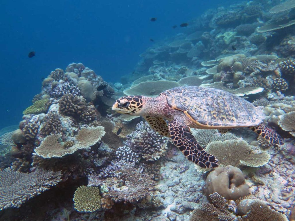Euan, hawksbill turtle Maldives