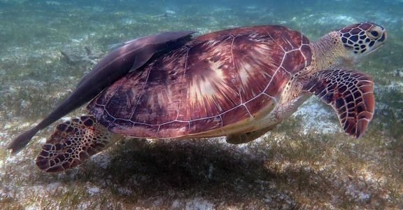 Name And Adopt A Turtle In Maldives