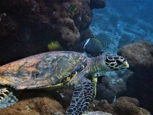 Hawksbill sea turtle Haa Alif Atoll Maldives