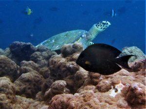 Hawksbill turtle Koopa identified during ORP sea turtle reseach expedition Haa Alif Atoll Maldives