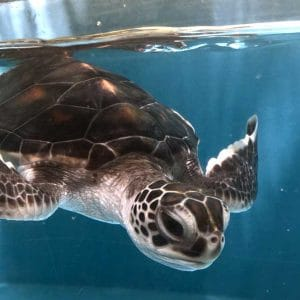 Green turtle baby Crush ORP rescue centre Maldives
