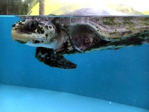 Olive ridley turtle patient Stitch long term resident ORP rescue centre Maldives