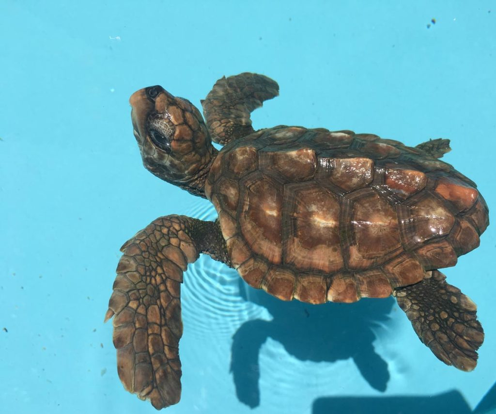 Emme, a juvenile loggerhead, was brought to the Rescue Centre having been kept as a pet since she hatched. We have estimate her to be between 2-4 months old. Image.