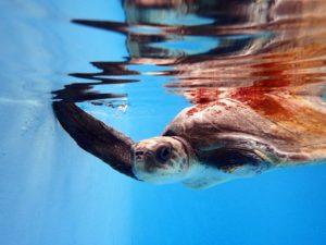 Flow-Olive-ridley-turtle-ORP-rescue-centre-maldives