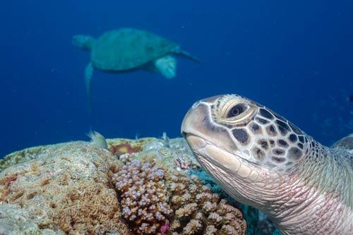 Green sea turtle in profile, Maldives. Image.