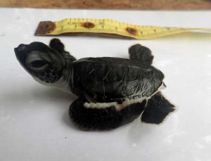 Green-turtle-hatchling-Claire-Maldives-rescue-centre-ORP