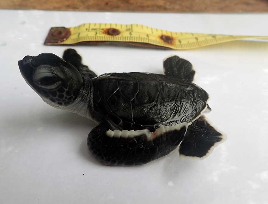 Green turtle hatchling Claire, 5 cm long, at ORP turtle rescue centre, Maldives. Image.