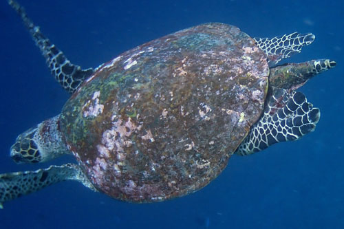 Adult male hawksbill turtle swimming in the blue, Maldives. Image