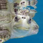 Olive ridley turtle ghost gear victim Maldives