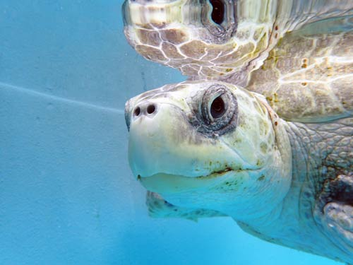 Olive ridley turtle ghost gear victim Maldives
