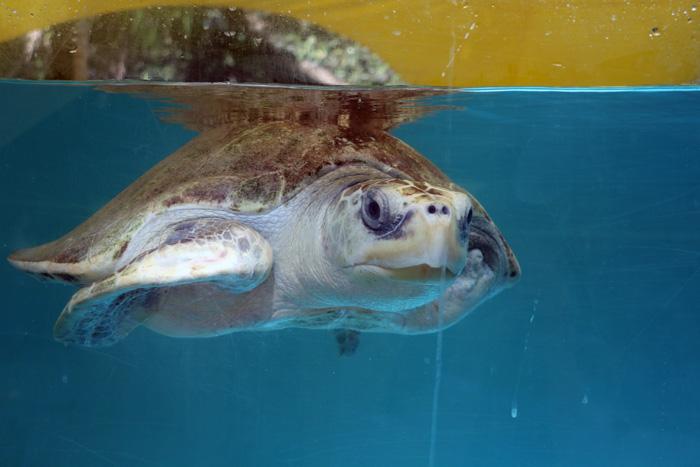 Turtle patient Heidi in his tank. Image.