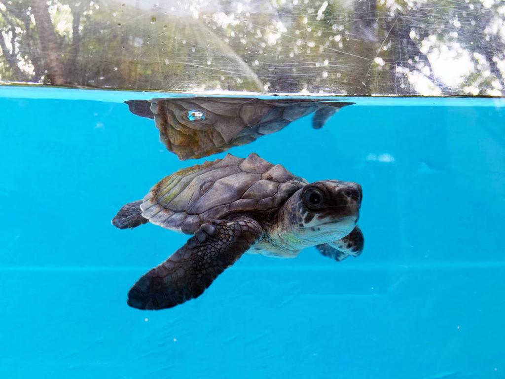 Hope-Olive-Ridley-baby-turtle-ORP-rescue-centre-Maldives