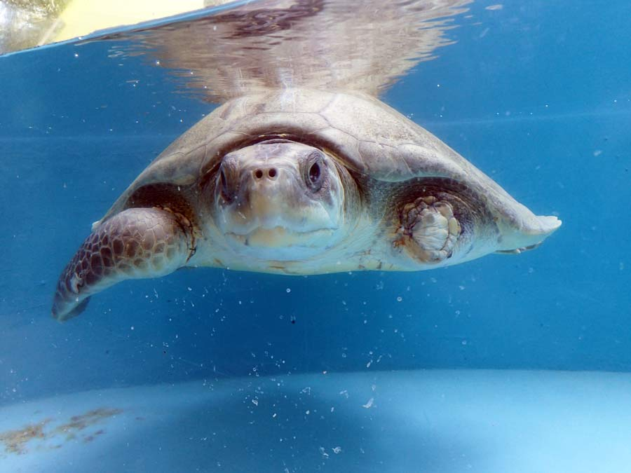 The Best Summer Internship In The World at ORP Marine Turtle Rescue Centre