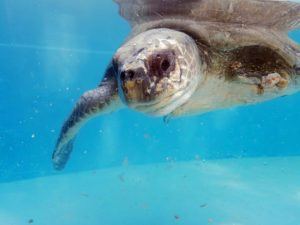 Pearl-Olive-ridley-turtle-patient-recovering-ORP-rescue-centre-tanks-Maldives