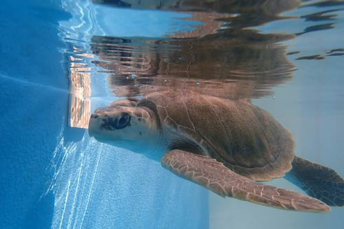Turtle patent Eve in her new tank at ORP Turtle Rehabilitation Centre, One & Only Maldives