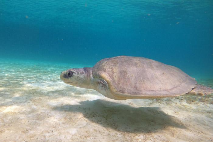 Photo of turtle patient Heidi on a sea swim.