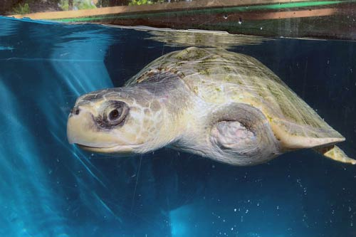 Turtle patient Heidi after 15 months at the Rescue Centre