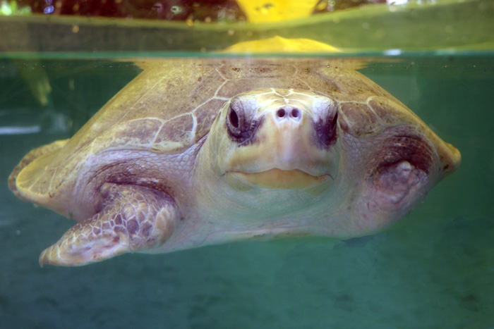Turtle patient Heidi in his tank at ORP Rescue Centre. Image.