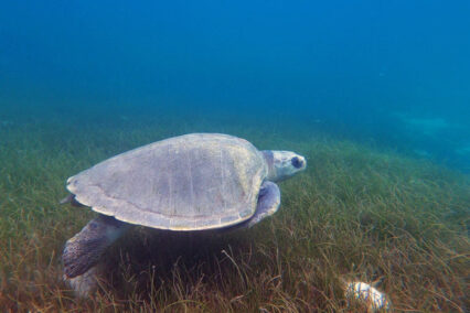ORP Turtle Patient Update Issue 7|2020