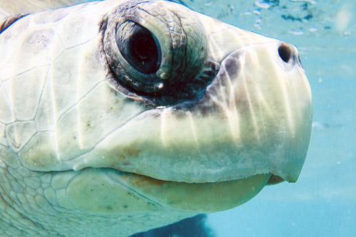 Close up of turtlepatient Heidi. Image.