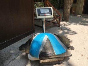 Olive ridley turtle Heidi bandaged up following her initial surgery