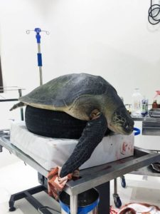 Olive ridley turtle patient Heidi during her initial surgery at ORP Marine Turtle Rescue Centre