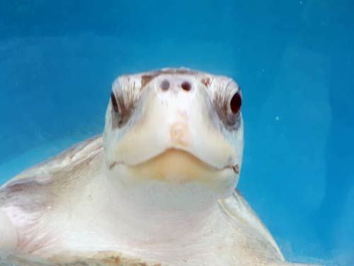 Olive ridley turtle Polina always curious Maldives