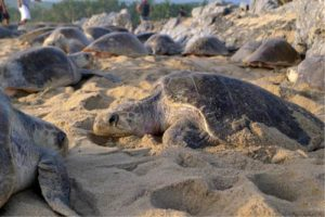 Arribada in Mexico a synchronized, large scale nesting event by olive ridley turtles