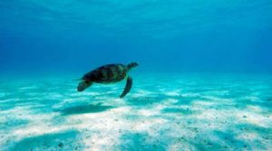 Green turtle swimming in Maldives