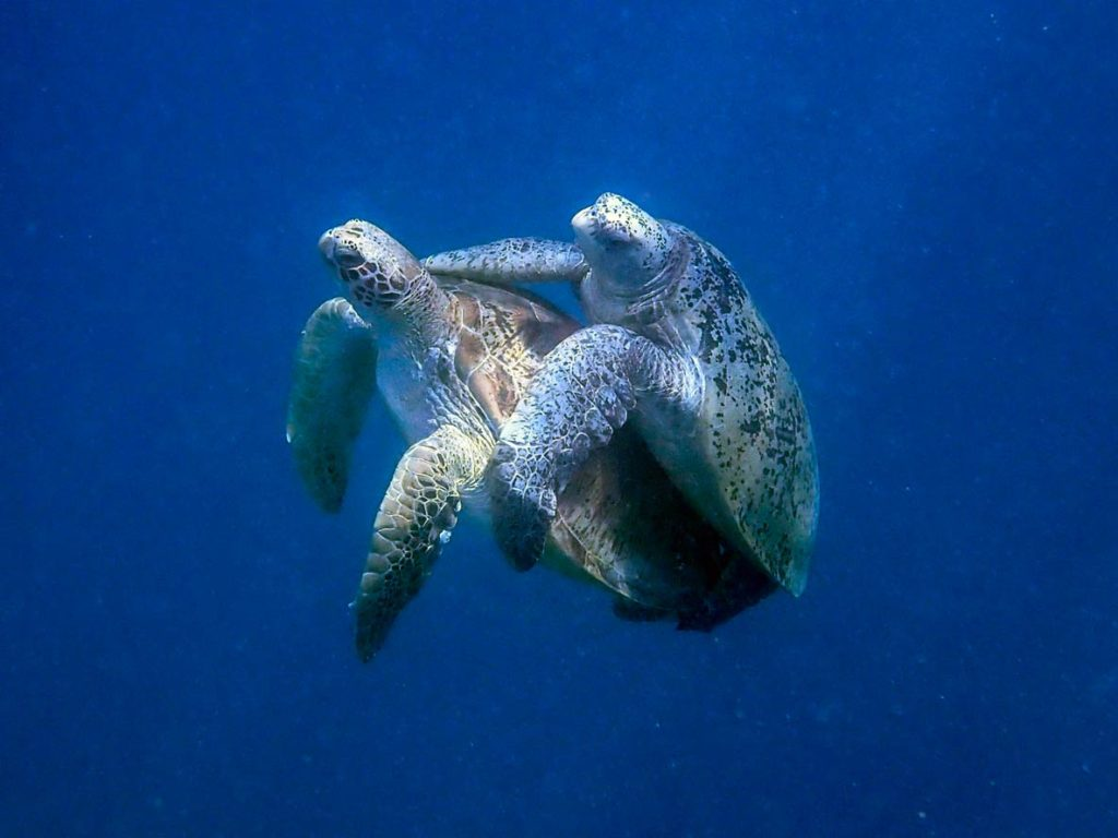 How do sea turtles mate? Mating green sea turtles Maldives