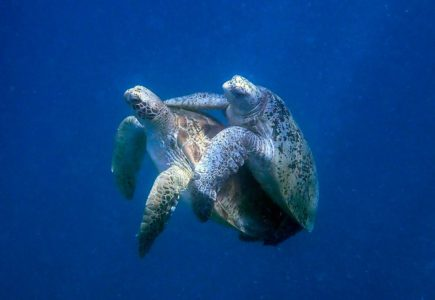 How Do Sea Turtles Mate?