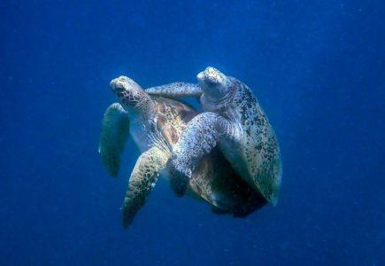 How Do Sea Turtles Mate?