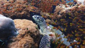 Hawksbill turtle on the reef in Haa Alif Atoll Maldives