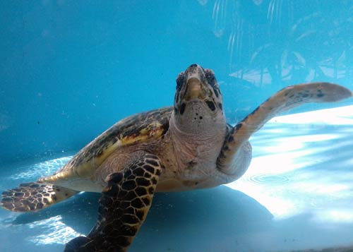 Hawksbill turtle rescue centre Maldives