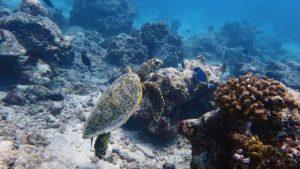 hawksbill turtle Haa Alif Atoll Maldives