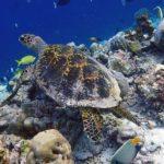 Hawksbill turtle on the reef in Haa Alif Atoll Maldives
