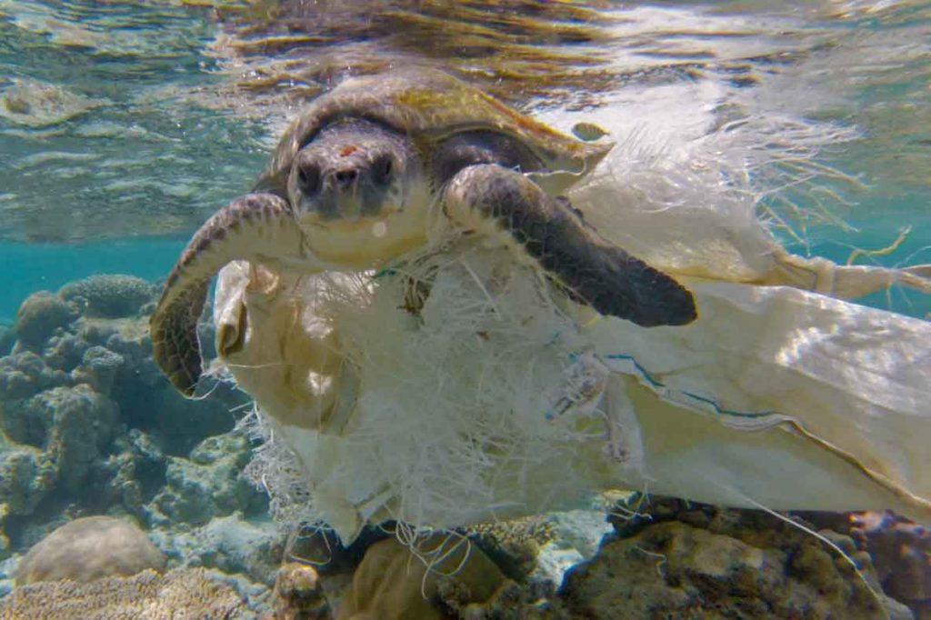 Hawksbill turtle resting at the bottom of the sea, Laamu Atoll, Maldives. Photo.