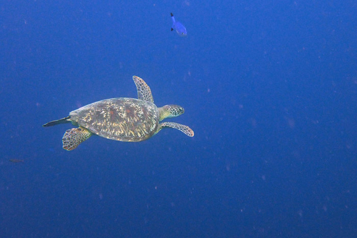 Green turtle swimming in the blue, Maldives. Image.