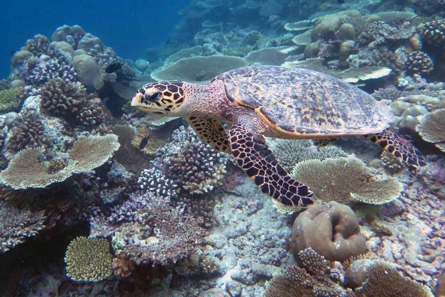 Juvenile hawksbill turtle, 45 cm long, swimming on a reef, Maldives. Image.