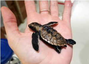 One day old hawksbill turtle hatchling rescued from predator atttack Maldives