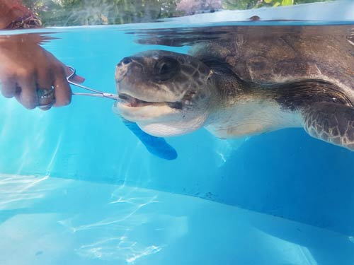 Turtle patient Shelly being fed at the turtle rescue centre