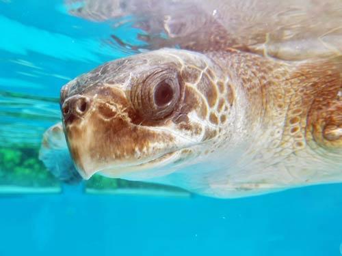 Olive ridley turtle Chouchou Maldives Rescue Centre