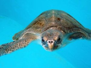 Olive ridley turtle patient Maldives