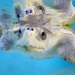 Olive ridley turtle patient ORP rescue centre Maldives