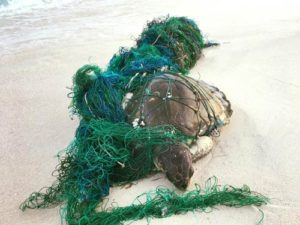 Coco, an olive ridley turtle, washed up on the beach entangled in ghost gear