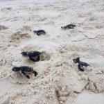 Daytime green turtle hatchlings Coco Palm Dhuni Maldives