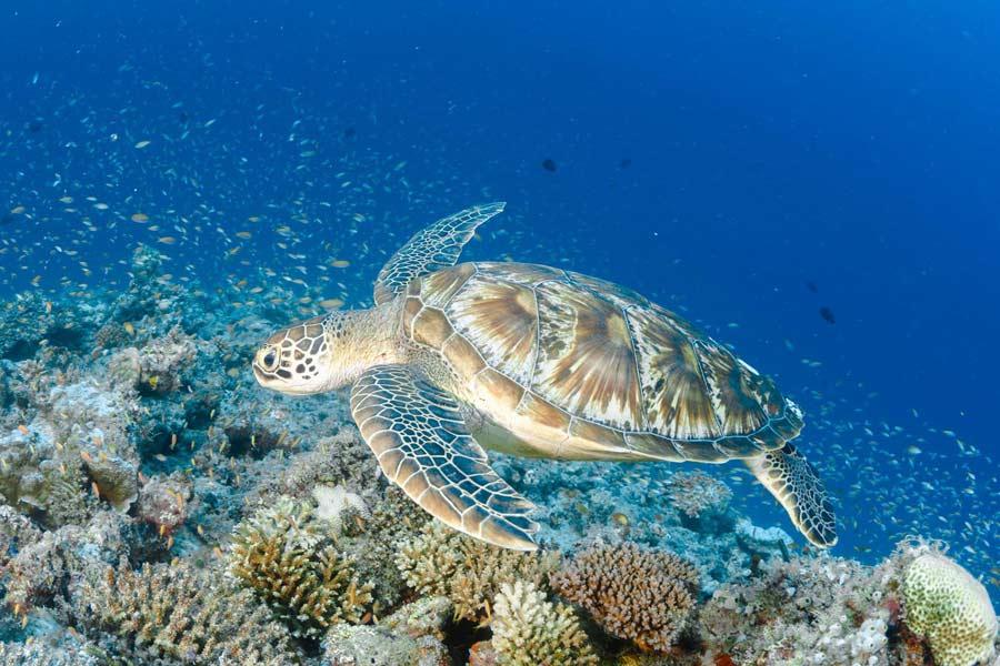 Green sea turtle swimming near a reef in Laamu atoll Maldives. Photo
