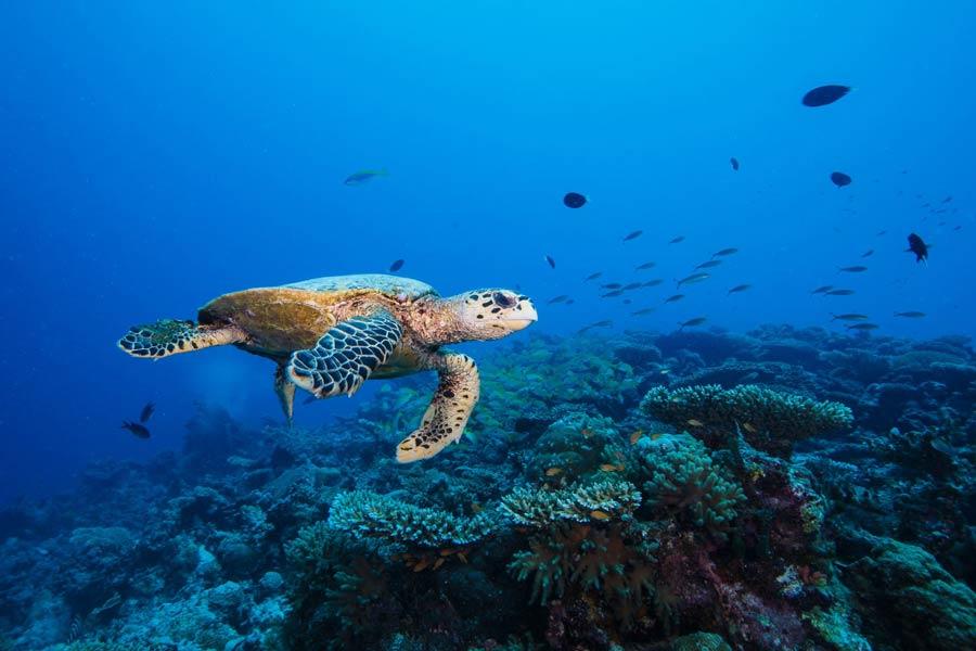 Hawksbill sea turtle swimming near a reef in Laamu atoll Maldives. Photo