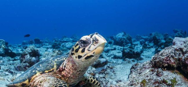 Why Are Hawksbill Turtles Critically Endangered?